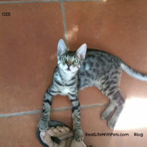 Adventurous OZZI tabby kitten